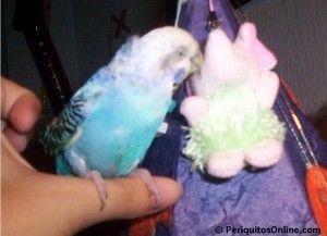 enfermedades plumas periquitos