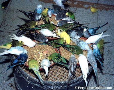 Alimentacion de periquitos