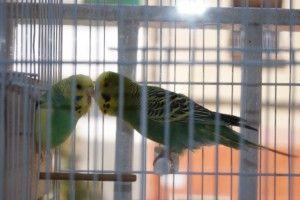 DSC05002 300x200 Fotos de Vuestros Periquitos