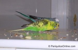 fotos periquitos comiendo