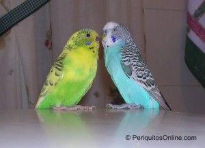 fotos pareja periquitos