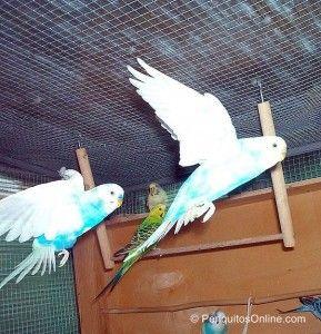 fotos periquitos volando