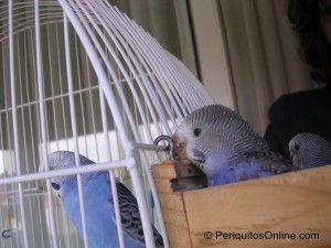 Seguimiento de cría de periquitos