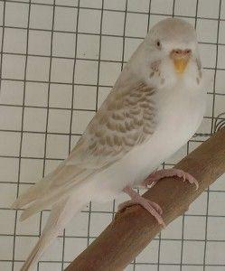 periquito alas de encaje o lacewings