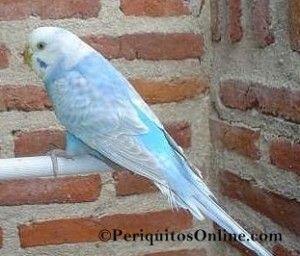 periquito alas claras linea azul