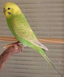 periquito alas claras linea verde