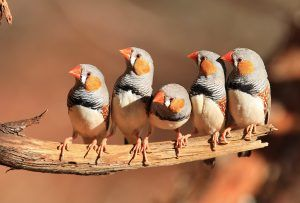 diamante mandarin aves australianas